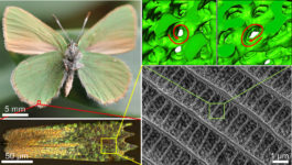 "Towards entry ""CENEM researchers answer key question on the microstructure of butterfly wings using electron tomography"""